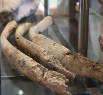 Arroyo Seco: Inicio el proceso de limpieza y preparación de los restos fósiles de la Macrauchenia.