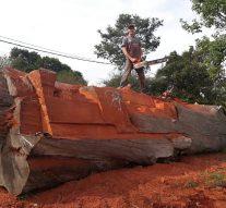 """Tomás Franzoi talla una """"locomotora"""" en un eucaliptus de más de 100 años"""